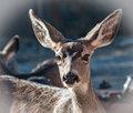 Doe-Mule Deer