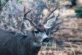 Five Pt Buck