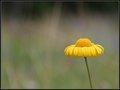 Field Flower - Reykjavik