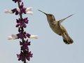 Solana Hummingbird