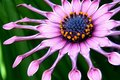 African Daisy Close Up