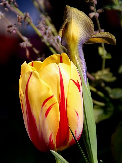 Tulip with Iris
