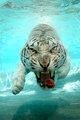 TIGER-SWIM-300507-001.jpg