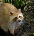 Blond_raccoon