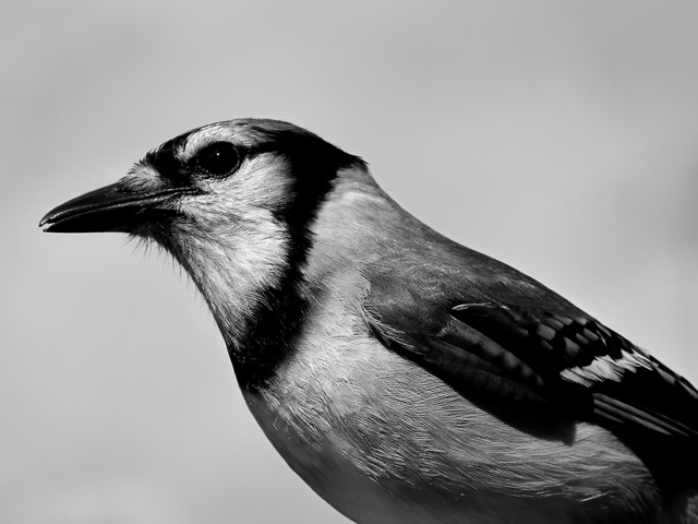 Not So Blue Jay Close up #25
