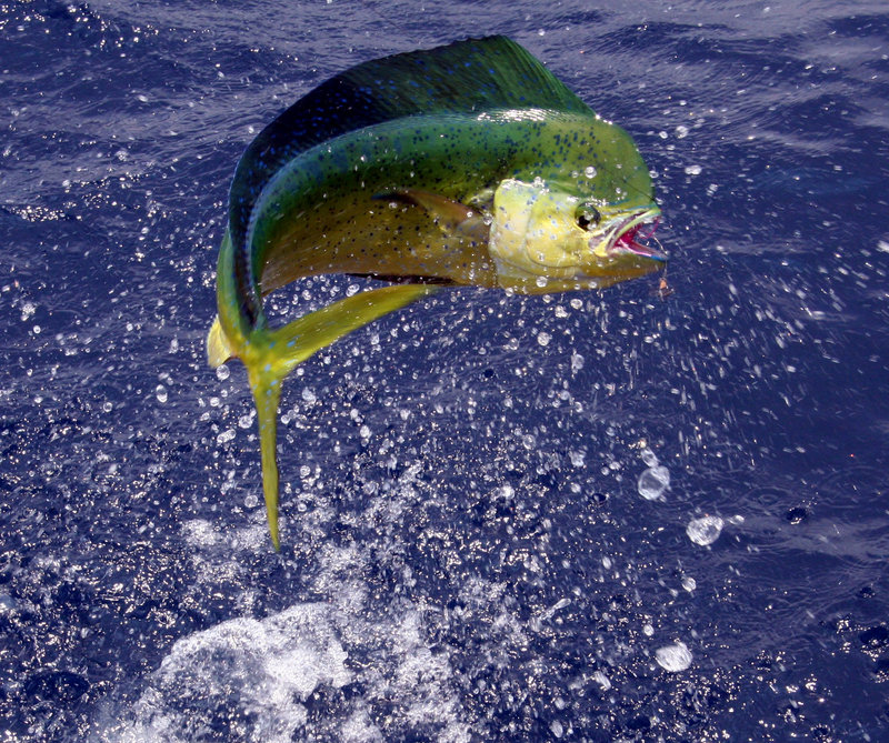 how to fish for mahi mahi