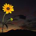 Rudbeckia at Sunset