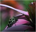 Beetle on Coneflower