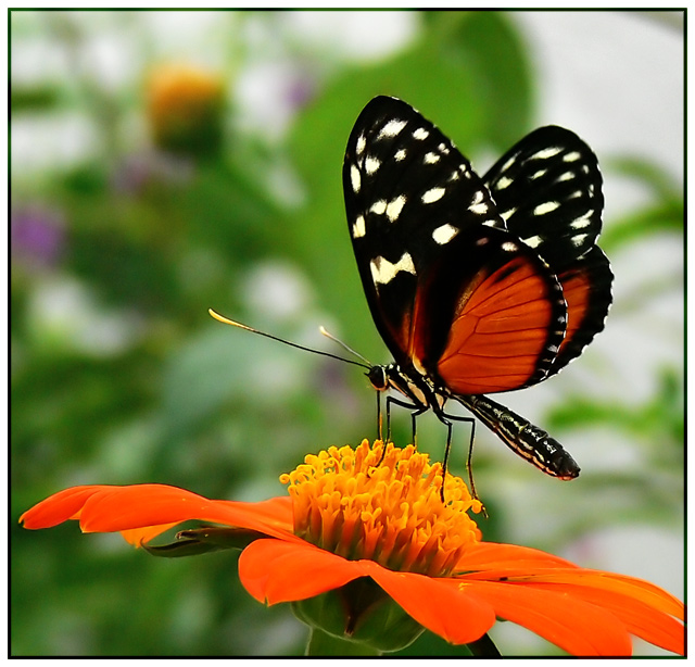 butterfly on orange flower by juliboc dpchallenge