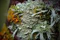 Jacaranda Lichen