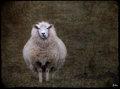 Unashamedly Sheep