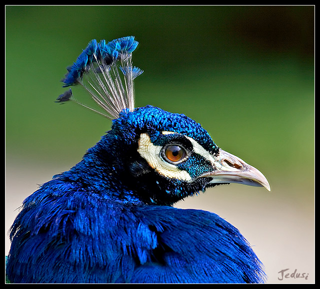 What does peacock blue mean definition meaning and