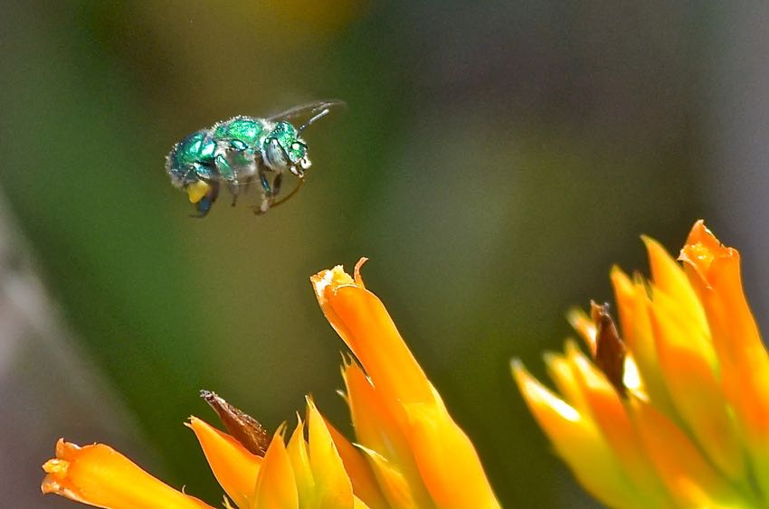 Metallic Green Hover Fly