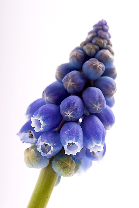 April 03 - Muscari botryoides