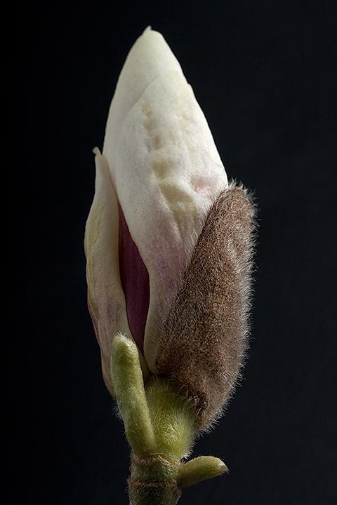 April 08 - Magnolia