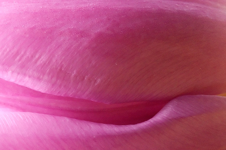 April 24 - Detail of a tulip