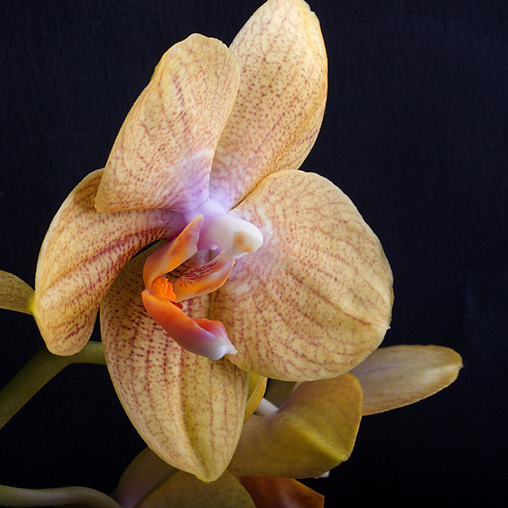 May 03 - Orchid
