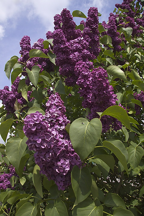 May 09 - Purple lilac