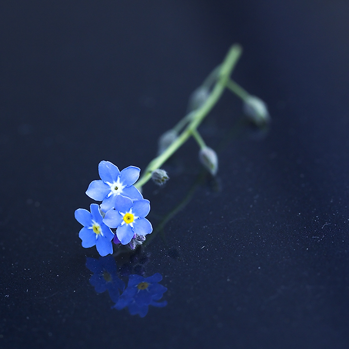 May 13 - Forget me not