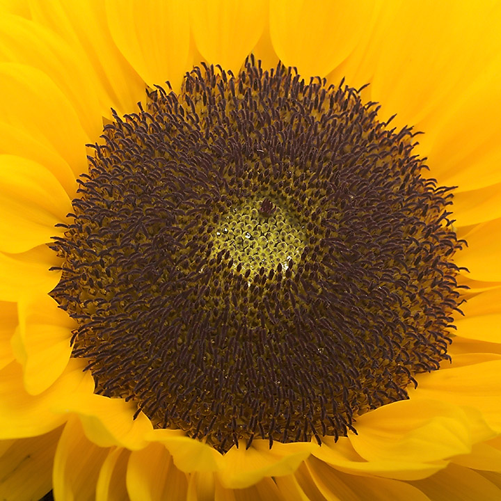 Jul 17 - Sunflower