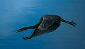 heron flight-3.jpg