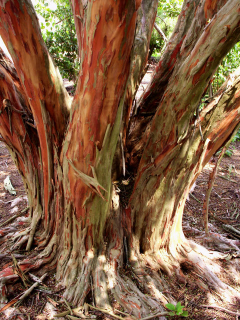 Red Tree Bark