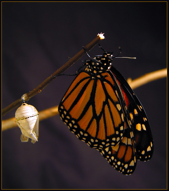 Metamorphosis: Newly Eclosed Monarch