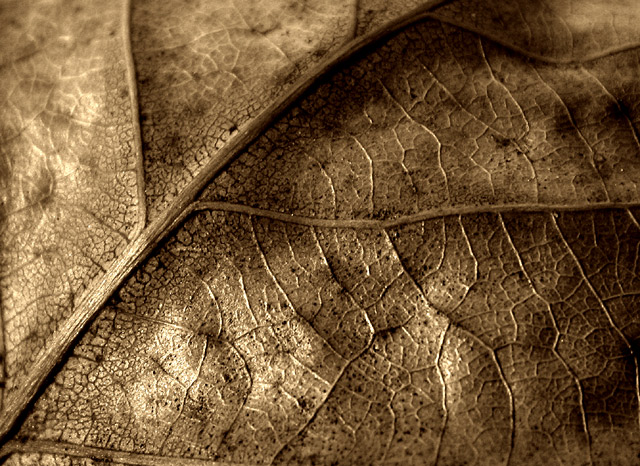 Leaf in sepia - macro study