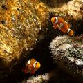 Nemo: The Truth About Clown Fish