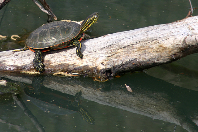 See the bonus turtle (reflection)?