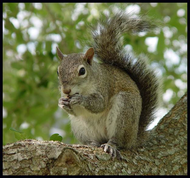 Coral Springs, Florida: Too many squirrels