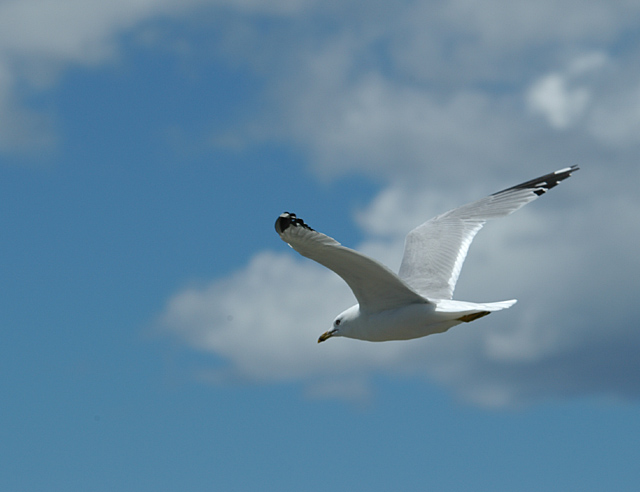 Blue-Sky and Gull