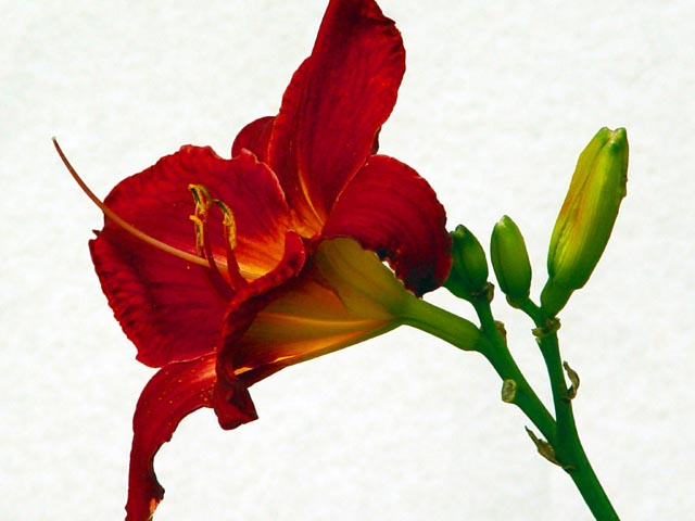 Red Day Lily 2