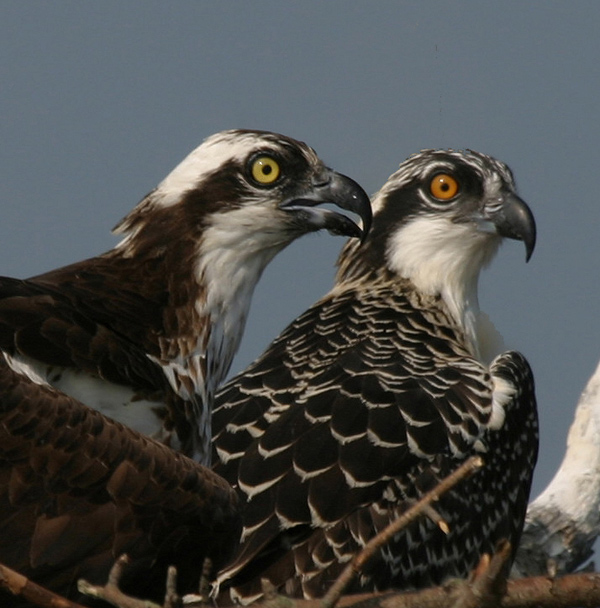 Osprey With (not so) Young