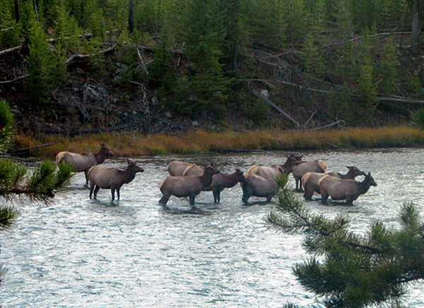 Cow Elk Crossing the Fire Hole River