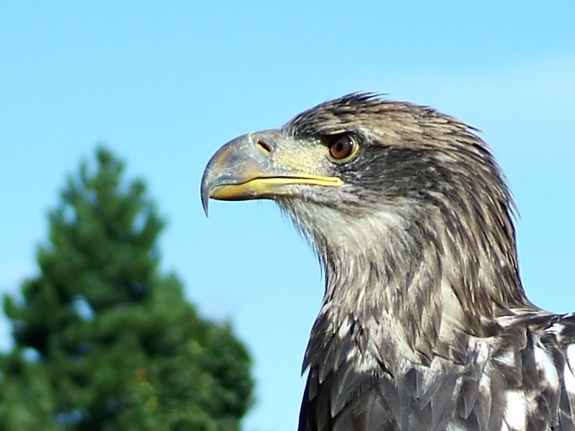 Young American Bald Eagle