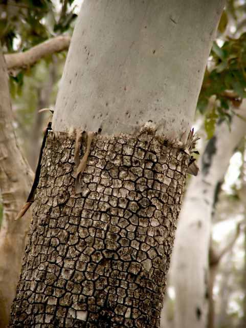 Gum tree shedding layer of bark.