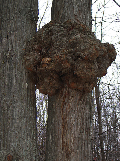 Tree with a Tumor.