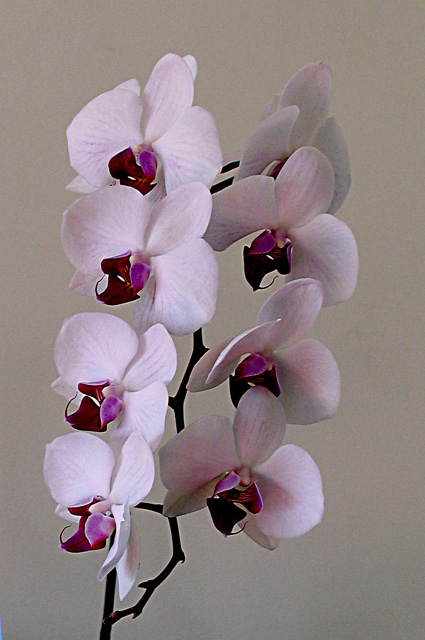 November 2004 - PHALAENOPSIS Orchidee