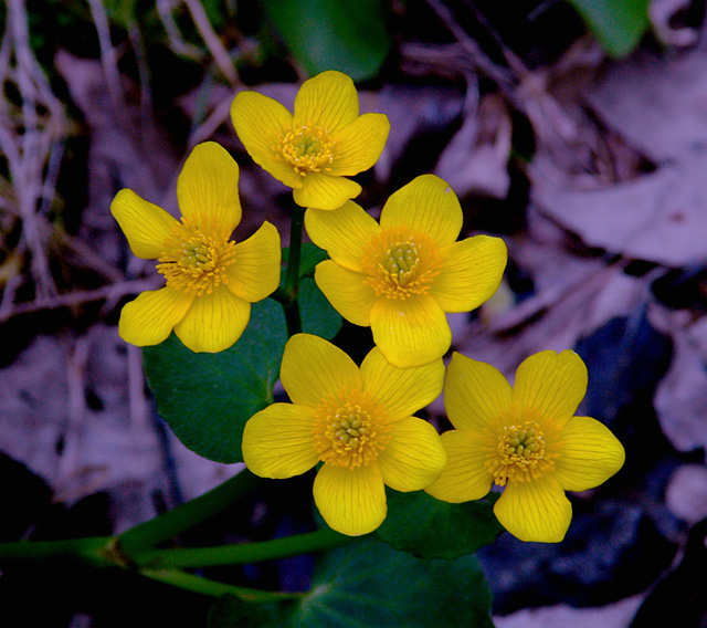 Five wild flowers that have five petals