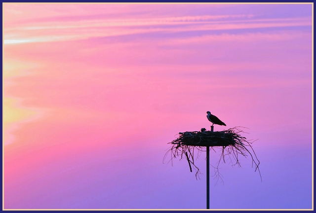 Osprey with chick at Sundown