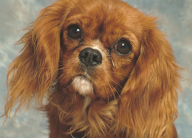 Beauty is,: a Cavalier King Charles called Ruby