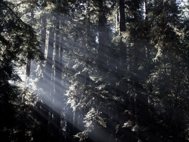 Rays Thru Redwood Branches