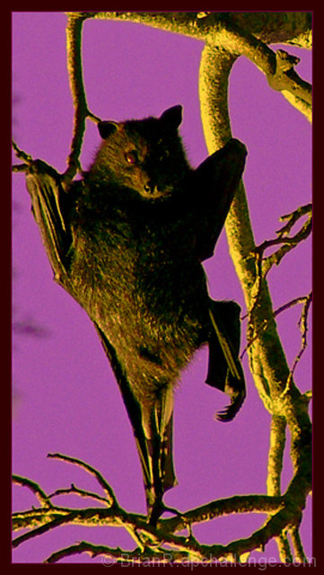 A Bat, Branch Dancer.