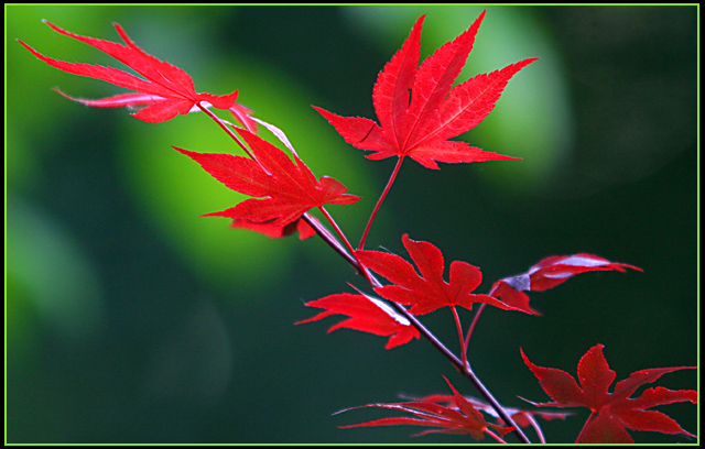 Fiery japanese maple branch