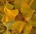 The Fallen Ginkgo Leaves
