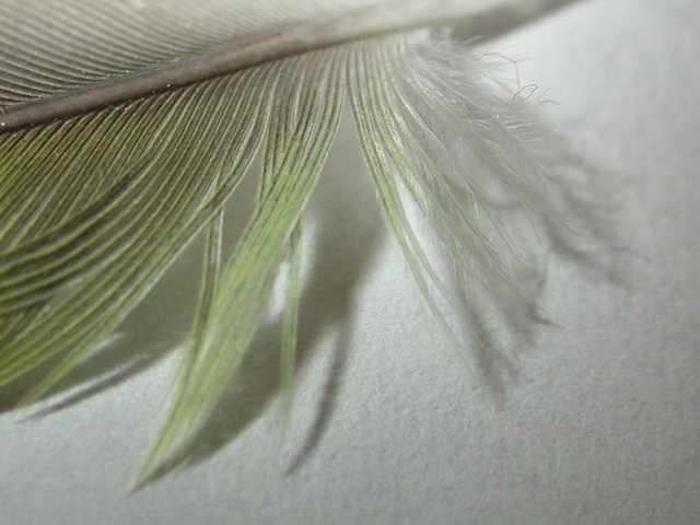 lovebird feather