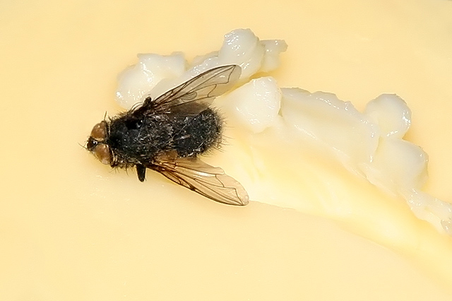 World's Ugliest Butter Fly