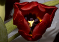 Portrait of a Tulip