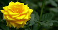 The Yellow Rose of Longwood